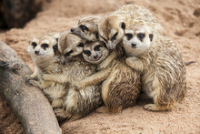 'Meet the Meerkats' Experience & Farm Entry £19 for a one-hour 'meet the meerkats' experience and farm entry for one person, £34 for two people at Willow Tree Family Farm, Mansfield - save up to 52% - wowcher